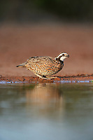 Northern Bobwhite (Colinus virginianus), male drinking at pond, Rio Grande Valley, South Texas, Texas, USA