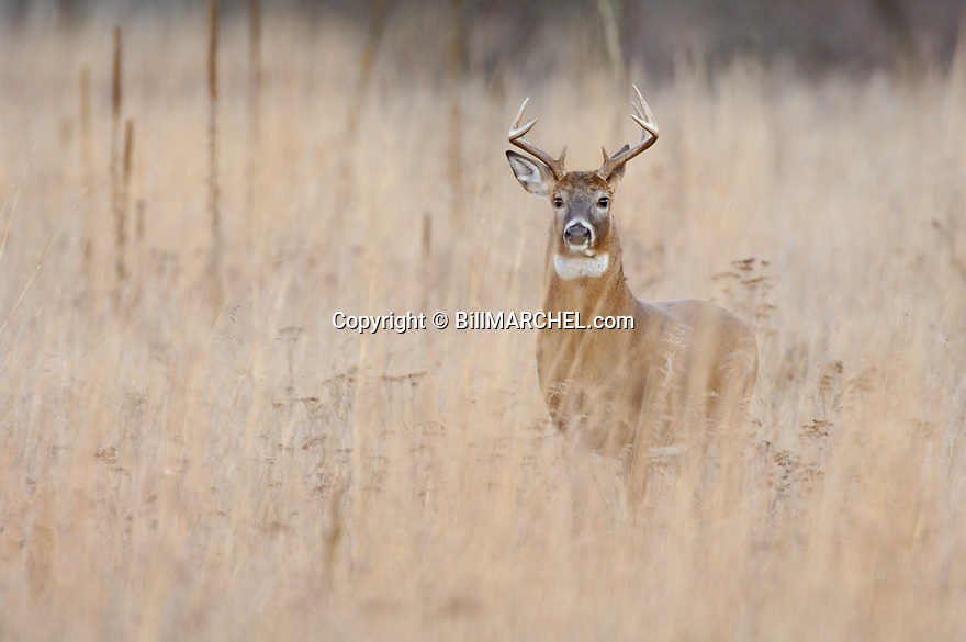 00274-312.10 White-tailed Deer Buck (DIGITAL) with 8 pt. is standing in prairie during fall.  Hunting, antlers, rut. H3F1