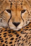 Cheetah, Serengeti National Park, Tanzania