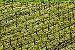 Germany, Baden-Wurttemberg, Oberrotweil at Kaiserstuhl: wine growing | Deutschland, Baden-Wuerttemberg, Oberrotweil am Kaiserstuhl: Weinanbau