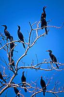 Viveiro de passaros Biguás (Phalacrocorax brasilianus) no Parque Nacional do Pantanal Matogrossense. Mato Grosso. Foto de Juca Martins.