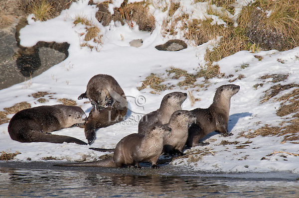 Six Northern River Otter (Lontra canadensis) together on the bank of a river.  Western U.S., late fall.  I believe these are the members of two different families.