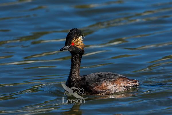 Black-necked Grebe or Eared Grebe (Podiceps nigricollis).  Western U.S., May.
