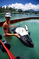 Melon-headed Whale (Peponocephala electra) recieves care from marine mammal researchers after being stranded on an Oahu beach. The white substance on their skin is a form of sunscreen. These whales were kept in special pens at the Marine Corps Base in Kaneohe Bay, Oahu, Hawaii.