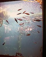 Monterey CA:  Monterey Bay Aquarium--Interior. Kelp Forest Tank.
