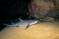 whitetip reef shark, Triaenodon obesus, and green sea turtle, Chelonia mydas, sharing a cavern, Maui, Hawaii, USA, Pacific Ocean