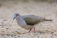 Adult White-tipped Dove (Leptotila verreauxi). Starr County, Texas. March.