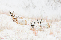 The snow was really coming down.  We could barely see the road.  Then we noticed a female Pronghorn (Antilocapra americana) off in the distance.  While we looked at her through the binoculars, we finally noticed these guys sitting right off the side of the road.  Custer State Park, The Black Hills, South Dakota.