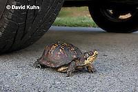 1003-0805  Male Eastern Box Turtle Crossing Paved Road Under Car and Tires - Terrapene carolina © David Kuhn/Dwight Kuhn Photography