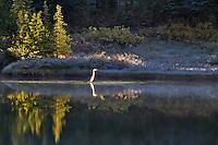 Great Blue Heron on Reflection Lake. Mt. Rainier National Park. Washington