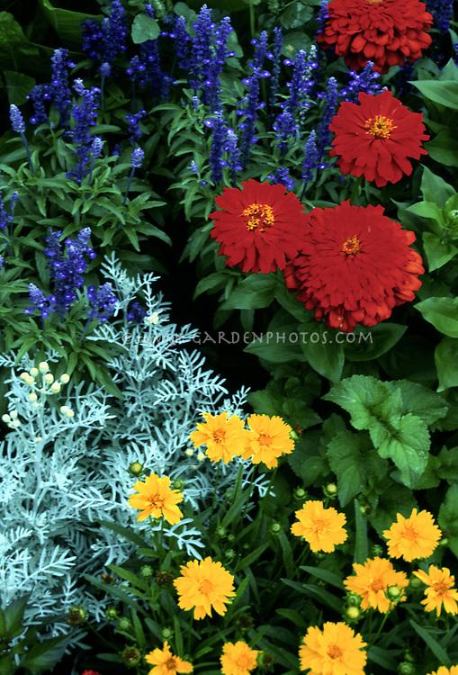 Zinnia Scarlet Splendor,Salvia farinacea Blue Bedder, Coreopsis grandiflora, Dusty Miller Senecio, annual flowers with perennial tickseed