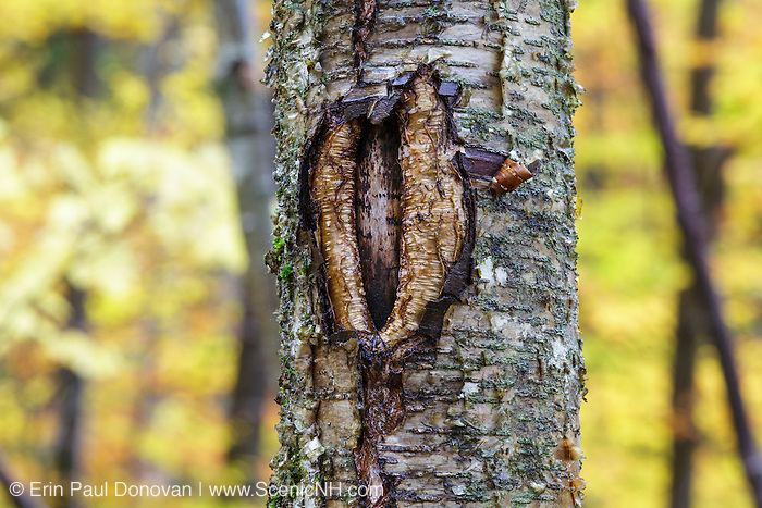 October 2016 - A man-made tree wound on a yellow birch tree along the Mt Tecumseh Trail in New Hampshire. Proper protocol was ignored when a painted trail marker (blaze) was removed from this tree, and this is the ending result. This blaze was painted on the tree in 2011, and then improperly removed from the tree in the spring of 2012. The bark, where the blaze was, was cut and peeled away creating a tree wound.