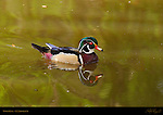 Wood Duck, Carolina Duck, Male, Drake, LA Arboretum, Southern California