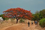 Flame Tree in bloom on the road to South Luangwa National Park