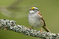 Adult white-striped morph White-throated Sparrow (Zonotrichia albicollis) in breeding plumage. Tompkins County, New York. May.