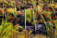 Saguaro cactus and blooming ocotillo. Saguaro National Park. Arizona
