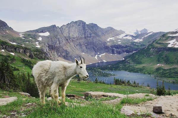 Mountain Goat,Oreamnos americanus, Juvenile shedding winter coat over Hidden Lake,Glacier National Park, Montana, USA, July 2007