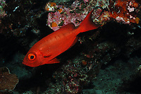 Crescent tail big eye, priacanthus hamrur, variable red to silvery occasionally with 6 red bars or large spots, Palua, Micronesia. Hovers under ledges between depths of 5 - 250m. Length to 40cm/16 inches