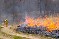 A controlled or prescribed prairie burn in a restored tallgrass prairie in Central Ohio. Used as a management technique, controlled burns mimic natural fire processes, which allow prairies to thrive by inhibiting many invasive annual weeds, stopping growth of invading tree and shrub species, returning critical nutrients to the soil, and stimulating germination by allowing the sun to warm the soil. Such burns are usually performed in the early spring before most prairie perennial forbs and grasses green up, utilizing accumulated dead vegetation as fuel. Prairie fires can move as fast as 600 feet per minute and burn as hot as 700 degrees Fahrenheit, or 340 degrees Celsius. The native tallgrass prairie ecosystem has been mostly lost to use of land for agriculture in the United States, with less than 5% of native prairie surviving. Ohio is the on the far eastern edge of its range.