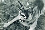 angry, barking German Shephard attack dog
