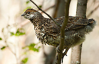 Young Spruce Grouse, Eagle River, Alaska.