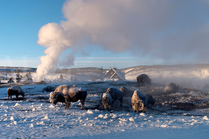 Several Buffalo rest in the thermal area surrounding Old Faithful geyser at Yellowstone National Park on a cold January mornin