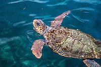 Loggerhead Turtle in the Harbour at Kastellorizo, Greece