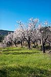 Spanien, Mallorca, bei Es Capdella: bluehende Mandelbaeume | Spain, Mallorca, near Es Capdella: almond blossom