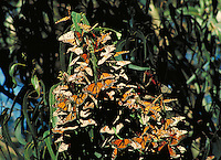 monarch butterflies clustered on eucalyptus tree leaves. Pismo Beach California.