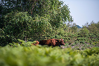 BNPS.co.uk (01202 558833)<br /> Pic: MaxWillcock/BNPS<br /> <br /> Pictured: Red Devon cattle at Studland Bay in Dorset.<br /> <br /> Cows have been reintroduced to a beauty spot for the first time in 90 years in a bid to save its threatened sand dune habitats.<br /> <br /> A herd of ten Red Devon grazing cattle are being used to trample down overgrown vegetation and boost biodiversity at Studland Bay, Dorset.<br /> <br /> The roaming animals, which are wearing GPS smart collars, are being monitored daily by National Trust livestock managers and will graze on dense areas of shrub away from Britain's most popular naturist beach.