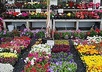 Annual flower selection at a garden center.