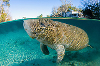 Florida Manatee, Trichechus manatus latirostris, A subspecies of the West Indian Manatee. A manatee enjoys the warm waters near the Three Sisters Springs. Crystal River, Florida.