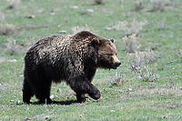 Grizzly Bear in Yellowstone