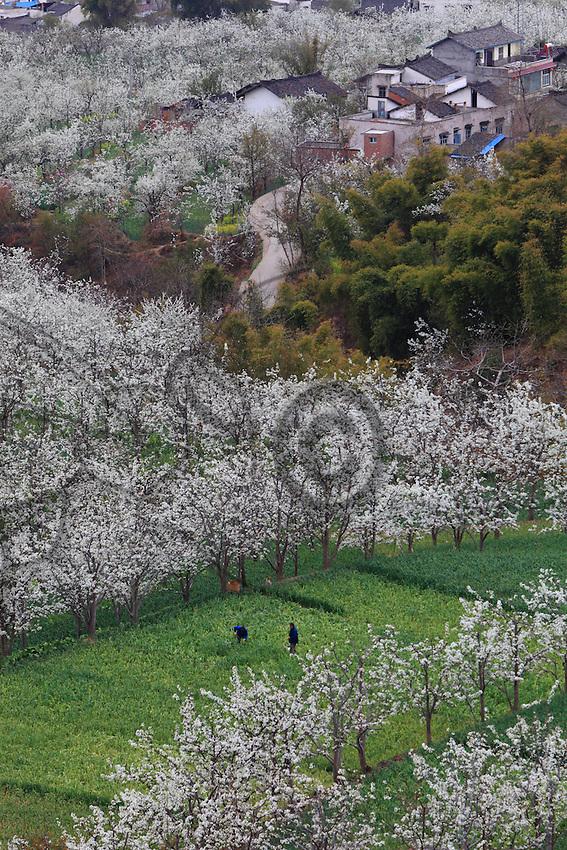 Les poiriers en fleurs égayent la petite ville de Hanyuan.///The blossoming pear trees brighten up the town of Hanyuan.