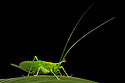 Conehead Katydid {Copiphora sp.} on rainforest  understory vegetaion at night. Osa Peninsula, Costa Rica. May.