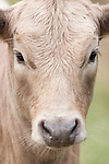 Brazoria County, Damon, Texas; a tight, head shot of a tan colored calf in the pasture on an overcast day