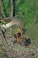 Northern Mockingbird, Mimus polyglottos,adult at nest feeding young, Welder Wildlife Refuge, Sinton, Texas, USA