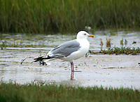 Adult herring gull in breeding plumage