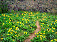 Balsamroot wildflowers and trail. Columbia River Gorge National Scenic Area. Oregon