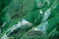 1Y08-074z  Land Snail - trails on leaf