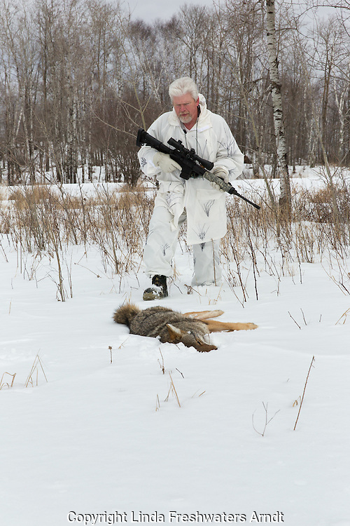 Coyote hunting in the winter