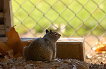 Squirrel Baseball Fan California ground squirrel