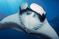 Giant Oceanic Manta Ray, Mobula birostris, formerly Manta birostris, Chichi-jima, Bonin Islands, Ogasawara Islands, Natural World Heritage Site, Tokyo, Japan, Pacific Ocean