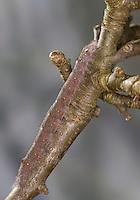 Pflaumenglucke, Raupe frisst an Apfel, Pflaumen-Glucke, Feuerglucke, Pflaumenspinner, Odonestis pruni, Plum Lappet, caterpillar, La Feuille morte du prunier, Glucken, Lasiocampidae. Tarnung, Tarntracht, Verbergetracht, Camouflage, Mimese, mimesis