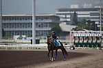 SHA TIN,HONG KONG-APRIL 26: Maurice ,trained by Noriyuki Hori,exercises in preparation for the Champions Mile at Sha Tin Racecourse on April 26,2016 in Sha Tin,New Territories,Hong Kong (Photo by Kaz Ishida/Eclipse Sportswire/Getty Images)