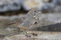 Canyon Towhee, Pipilo fuscus, adult drinking, Uvalde County, Hill Country, Texas, USA, April 2006