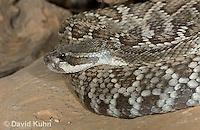 0419-1006  Southern Pacific Rattlesnake (Black Diamond Rattlesnake, Pacific Rattler), Southwest California, Crotalus oreganus helleri (syn. Crotalus viridis helleri)  © David Kuhn/Dwight Kuhn Photography.