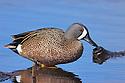 00315-058.16 Blue-winged Teal Duck (DIGITAL) drake is in marsh, wetland, swamp, pond, pothole, typical of species.  Hunt, waterfowl.  H7R1
