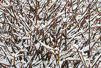 1J04-502z  Black-capped Chickadee, camouflaged on snow covered branches,  Poecile atricapillus or Parus atricapillus