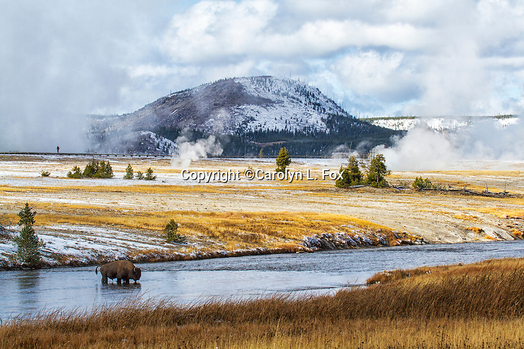 A bison crosses the Firehole River in Yellowstone National Park.